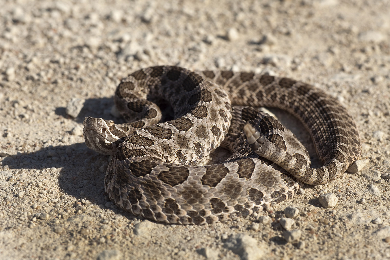 Massasauga rattlesnake Quivira National Wildlife Refuge Kansas